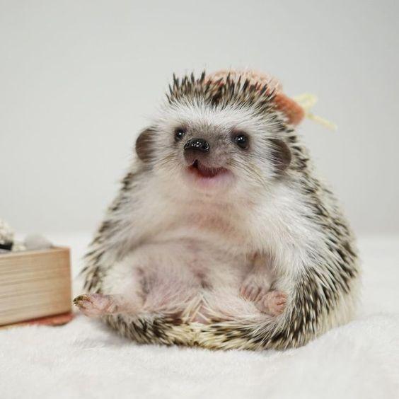 Squatting hedgehog
