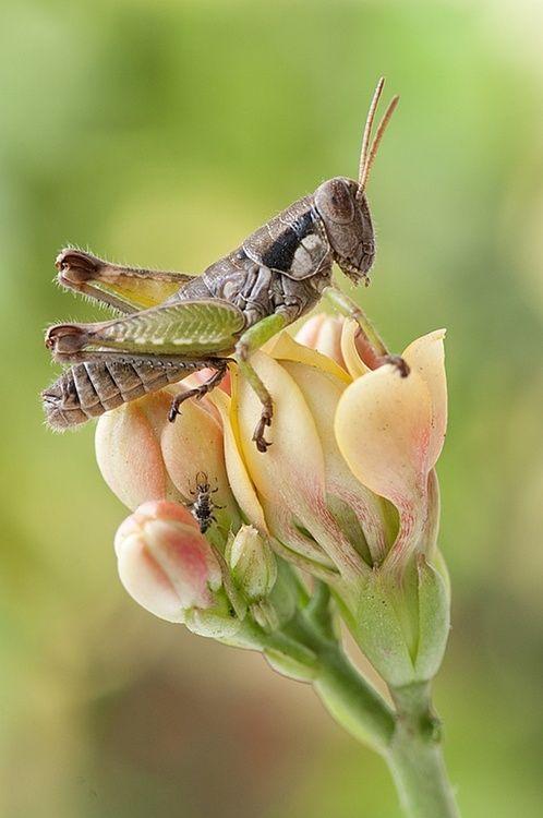 Chapulin Grasshopper, commonly eaten in certain areas of Mexico - by Brigido Garcia