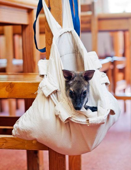 7 Photos Of An Orphaned Baby Wallaby & Her Makeshift Sleep Sack