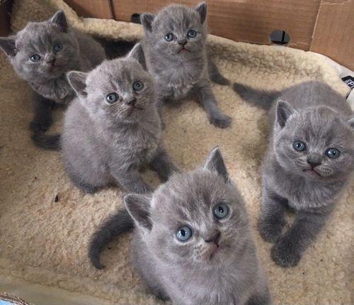 Profil British Shorthair Kucing Gendut Dan Lucu Dari Inggris Gerava Ikan Hias Burung Kicau Kucing Anjing Perawatan Kucing Kucing Anjing Russian Blue