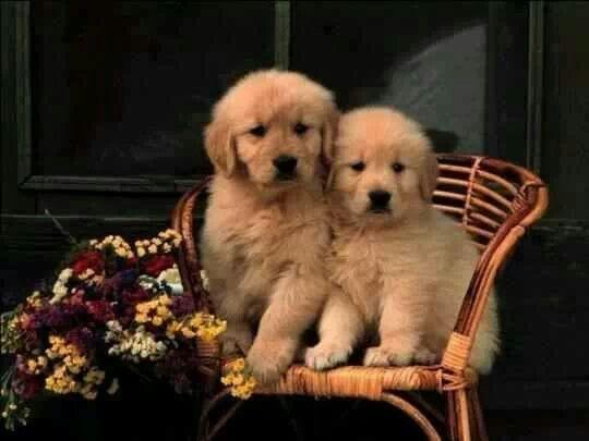 Golden Retriever Puppies Doggroominggoldenretriever