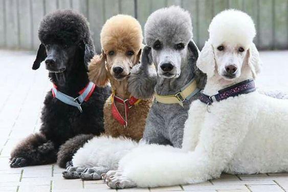 Chó Poodle lông đen giá thường thấp nhất