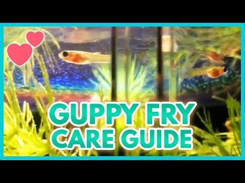 How To Care For Baby Guppies Guppies Are A Great Addition To Your Aquarium And Are Easy To Breed However The Mothe In 2020 Guppy Guppy Fish Tropical Freshwater Fish