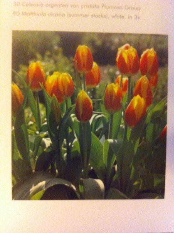 Tulipa Kaiserskroon