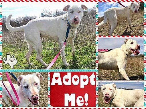 Quinlan Tx Dogo Argentino Meet Kai A Pet For Adoption With