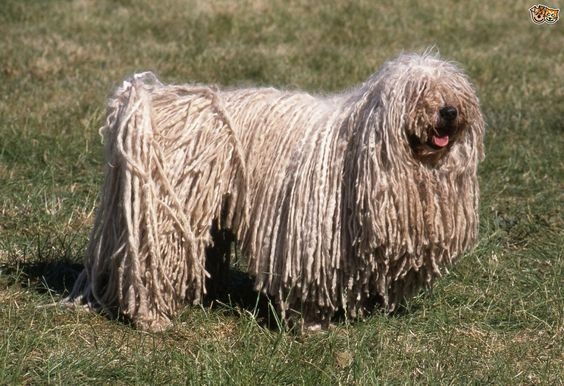 dog-breeds-with-dreadlocks-546c6d311d3fe.jpg (1280×878):