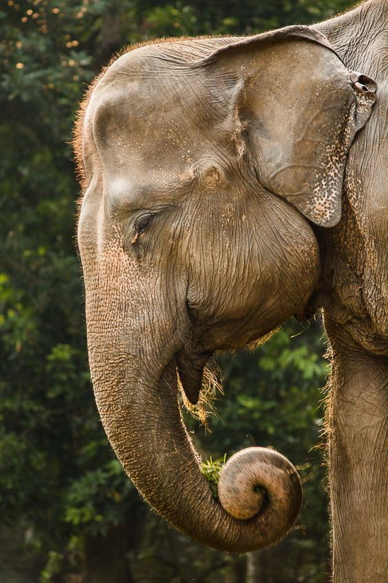 Indian elephants have small ears. African elephants have large ears. This one is Indian.