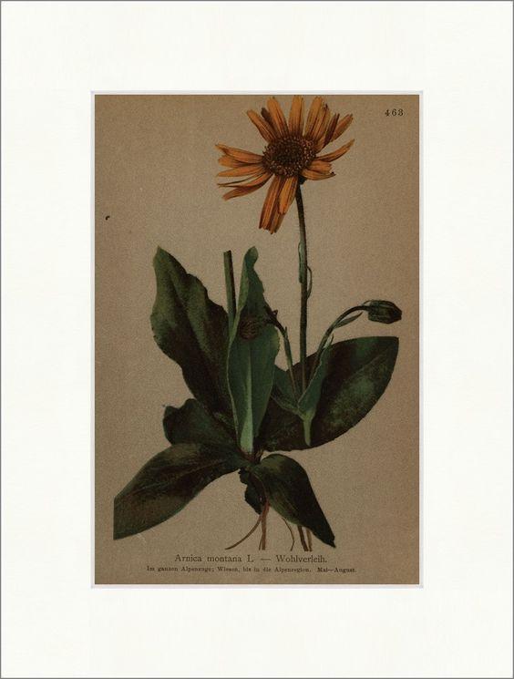 Arnica Arnica montana L. campagne alpin, prés, région alpine La flore alpine 463 - Antique Biller