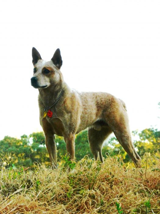 "Australian Stumpy Tailed Cattle Dog, often referred to as a ""Stumpy Heeler"". Although they are related to Australian Cattle Dog, Stumpys are proportionally heavier, less leggy, and have a naturally bobbed tail. Stumpy Heelers also do not have the ""tan"" markings that Australian Cattle dogs have."