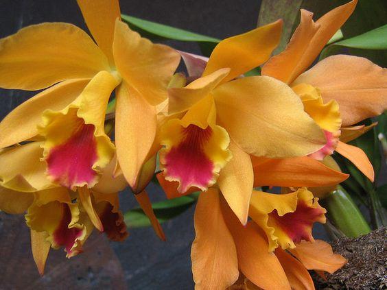 Orchid- Орхидея