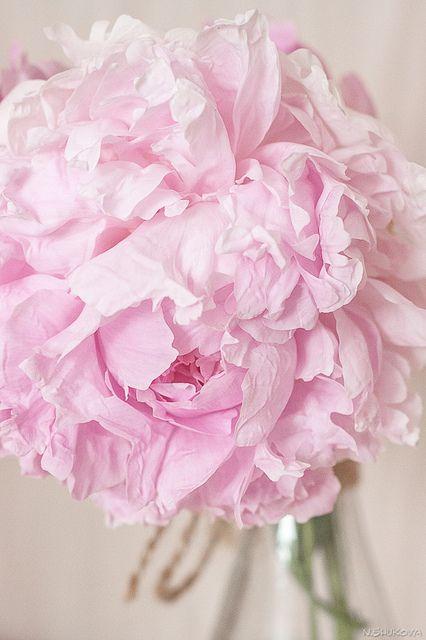 "gyclli: "" IMG_8523 by Nat Shukova on Flickr. Pink Peony """