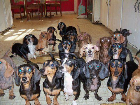 um...wow...: Doxies Other Dogs, Doxie Love, Weenie Dogs, Animals Dogs, Teckel Dachshund Wiener Doxie, Doxie S, Doxie Babies, Weiner Dogs, Wiener Dogs