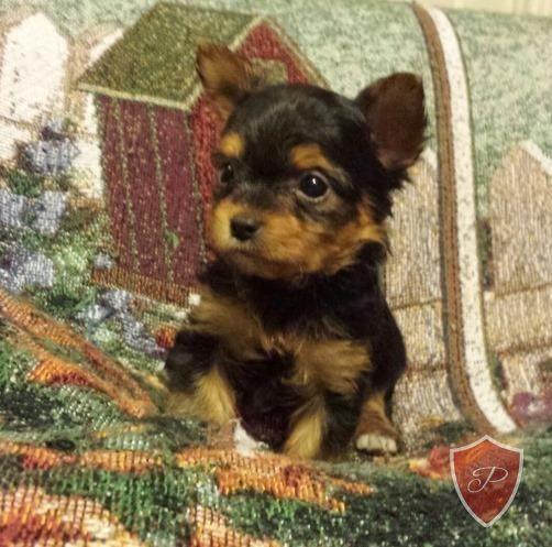 Puppies for Sale - Purebred.com