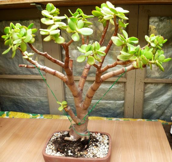 jade plant bonsai ideas shape jade and bonsai. Black Bedroom Furniture Sets. Home Design Ideas