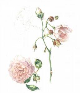 Austin Rose in watercolour