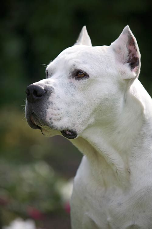 Dogo Argentino Dog Breed Information Dogo Argentino Dog Dog