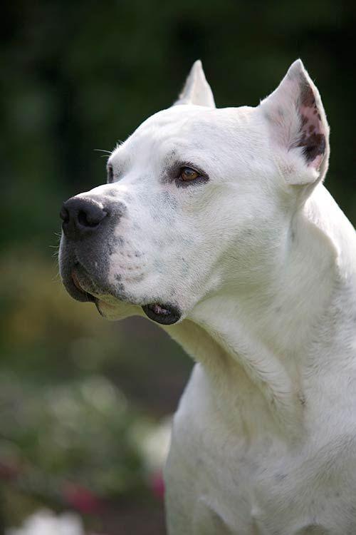 Dogo Argentino Dog Breed Information Argentina Perros Animales Bonitos