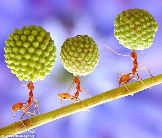 The ants demonstrate their power by balancing giant seed pods from a Mimosa tree above their heads