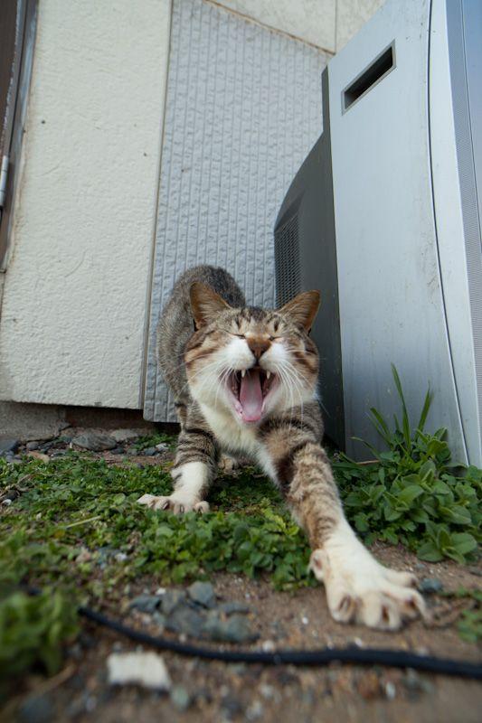 あくびをする野良猫)