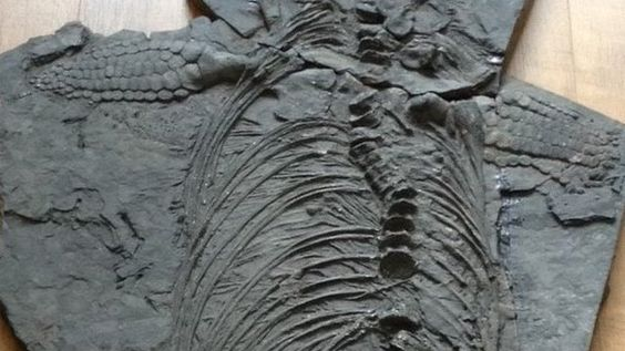BBC News - Find is 'whopper in size', says amateur fossil hunter