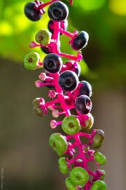 pokeberry appalachian - Google Search