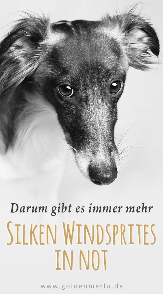 Haufig Werde Ich Gefragt Ob Es Silken Windsprites In Not Oder Im Tierheim Gibt Die Ein Neues Zuhause Suchen Die Wahrhei Tierheim Hunde Hunde In Not Tierheim
