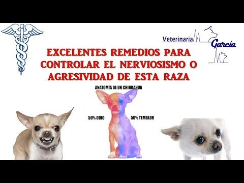 Como Quitarle Lo Agresivo O Nervioso A Un Chihuahua Usando Flores De Bach Youtube Perros Chihuahua Perros Chihuahua