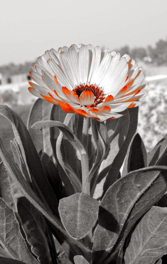 Marigold Flower, original effect from Nikon Coolpix P600