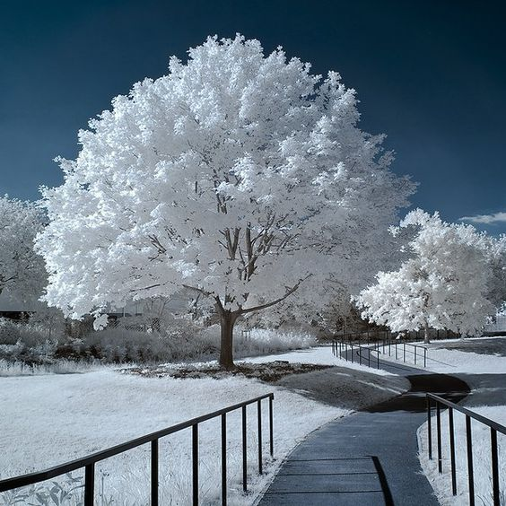 Infrared Tree Photography: