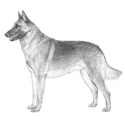 Belgian Malinois Dog Breed Information Belgian Malinois Malinois Belgian Malinois Dog