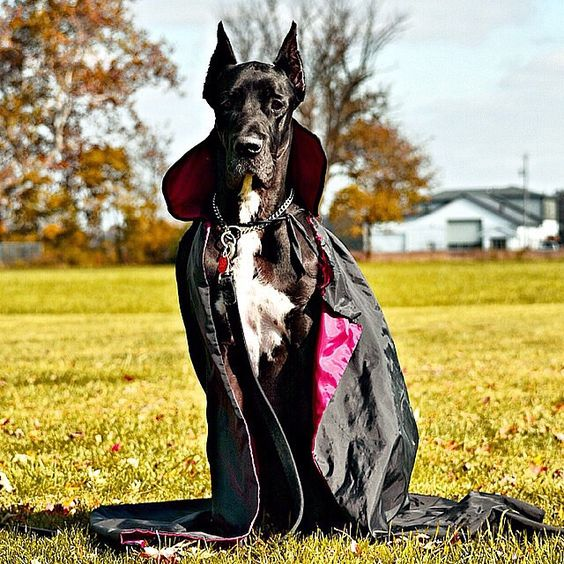 The only way to make a Great Dane look even more regal? A cape, of course.