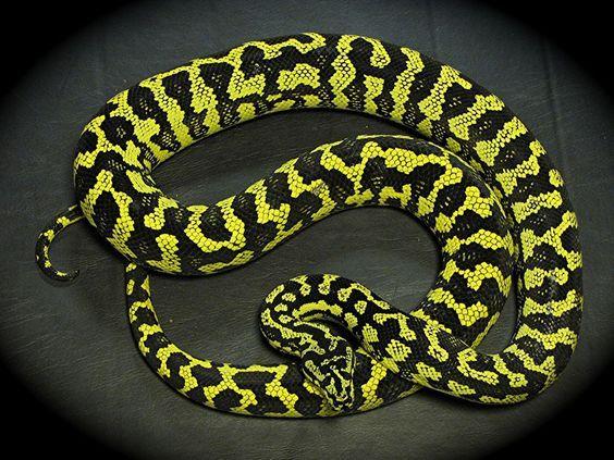 Carpet Python Facts 9 Facts About Carpet Pythons Pretty Snakes