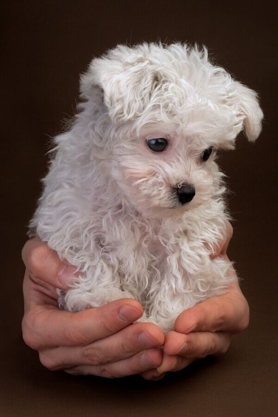I Need A Maltese Runt Beautifulpuppies Cute Animals