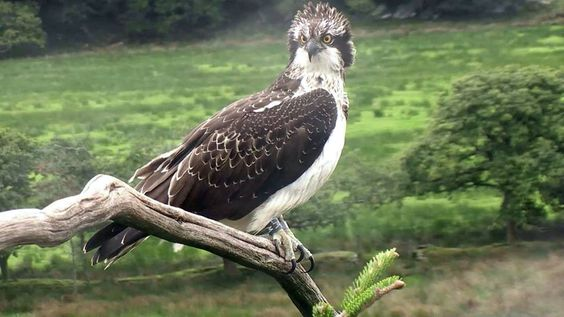 This is W7, she is this year's female osprey chick (2016) at a wild, but monitored nest site in Wales. She is 107 days old and will migrate to West Africa any day now.