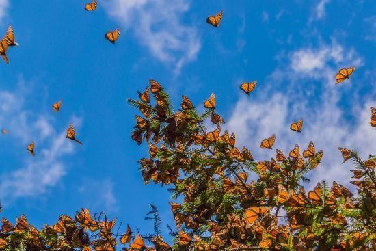 Monarch Butterflies On Tree Branch In Blue Sky Background Michoacan Mexico Photograph Desktop Wallpaper Art Aesthetic Desktop Wallpaper Blue Sky Background Butterfly on orange flower wallpaper. aesthetic desktop wallpaper