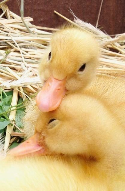 ducky couple