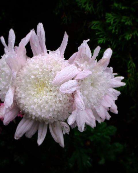 ぎゅうううう、っと菊たちは。 時々でも 息苦しくなったりしないんだろか。   #flower #花