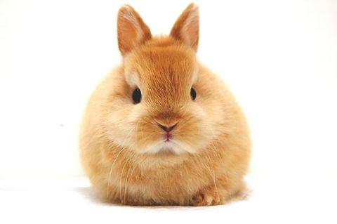 baby netherland dwarf bunny: