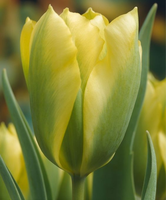 "TULIP FORMOSA  This award-winning heirloom is brilliant glow-in-the-dark yellow with green flames. Bulb size: 12 cm/up. May. 12"". HZ..."