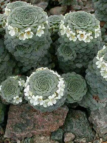 ☆succulent: