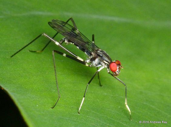 Stilt-legged Fly, Poecilotylus sp. from Ecuador Megadiverso: www.flickr.com/andreaskay/albums