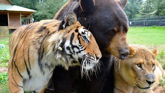 Urso, leão e tigre não vivem um sem o outro há 15 anos
