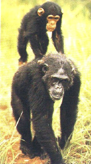 Research paper idea? On Primates(monkey, apes)?