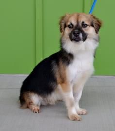Sy is a fun little guy. He is a 1 year old Pomeranian/Dachshund mix and is in need of a good home.