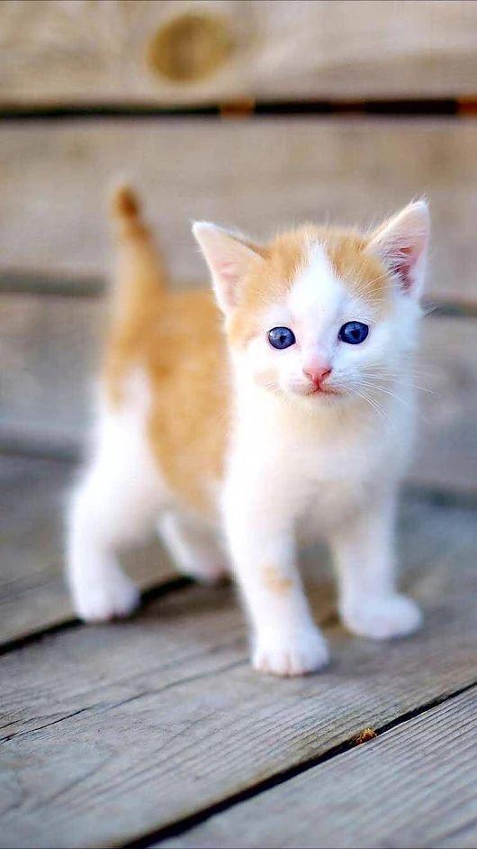 7 Week Old Kitten Kitten Red Blue Eyes Baby