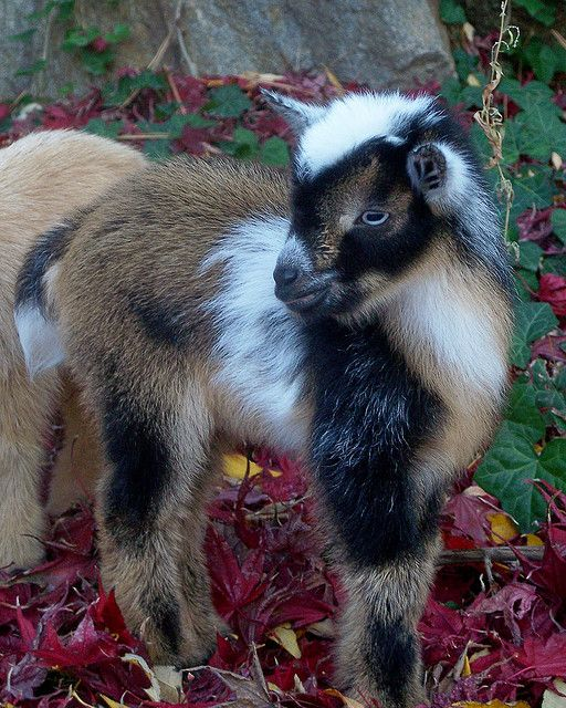 Nigerian Dwarf Goat Kid | Cute Animals | Pinterest ...