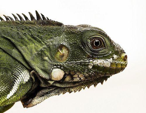 Jovem iguana