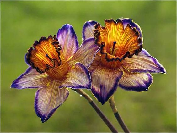 Image result for purple daffodil
