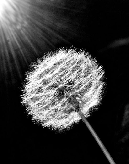 Pin By Gail On Dandelion Dandelion White Dandelion Black And White Photography