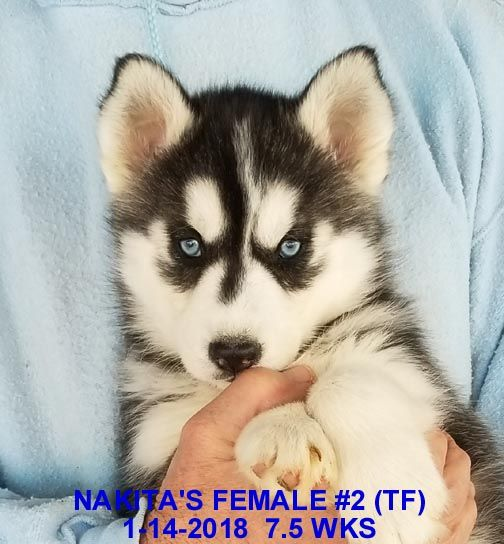Litter Of 9 Siberian Husky Puppies For Sale In Manilla Ia Usa